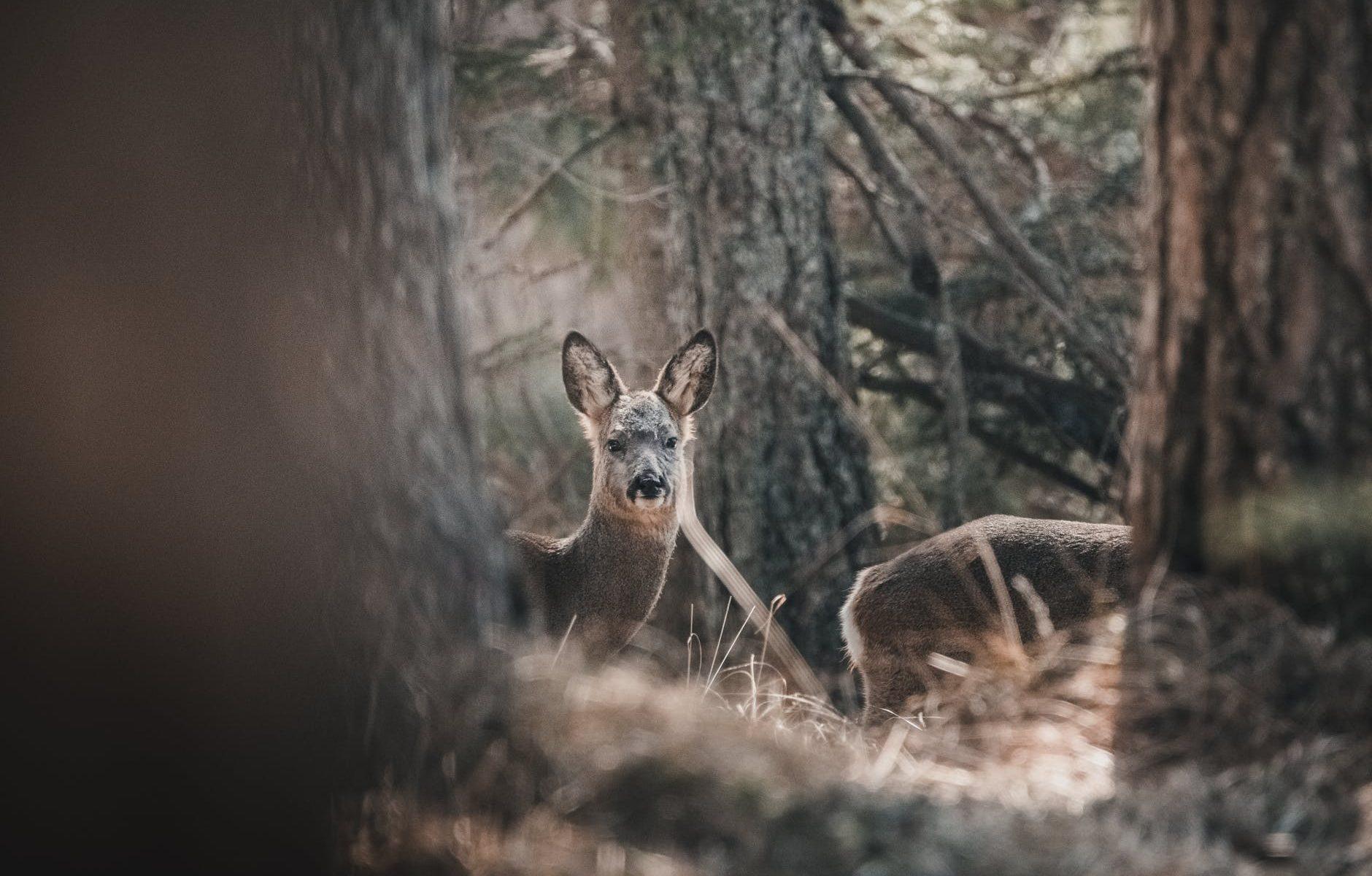2 rådyr i en skov optaget af vildtkamera